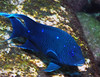 Loreto 2008 - Damselfish :